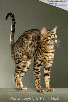 Bengal Cat Looking Like a Paperclip    best photographer of these awesome creatures