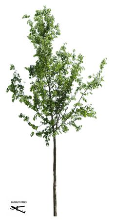 36.1 M / 2464 x 5127 pixels. PNG image. Cutout tree with transparent background. 15,7 MB file ready to download. Celtis australis European Hackberry, European Nettle tree, Lote-tree.