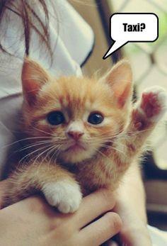 Career kitten hails a cab.