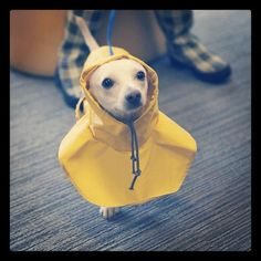 Cute Chiwawa Dog Pup With Rain Coat On Pic Funny Animal Pictures
