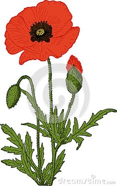 Illustration about Poppy flower on white. Illustration of decorative, natural, flowers - 28684089 Poppy Drawing, Red Poppies, Flower Art, Illustration Flower, Canvas, Drawings, Plants, Vector Stock, Painting