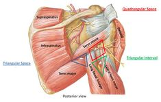 radial nerve entrapment and supraspinatus tear - Google Search