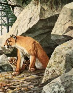 Fuertes, Louis Agassiz (1874-1927) - Burgess Animal Book for Children 1920 (Panther). #vintage, #animals, #large cat