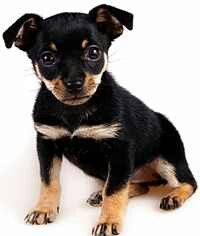 Beautiful miniature pincher pup!