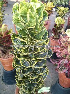 Croton plant Codiaeum variegatum