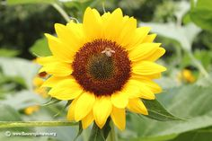 Sunflower (41)