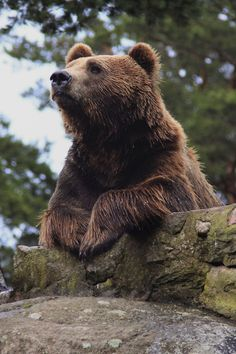 Philosophical bear contemplates the universe.