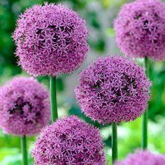 Allium Bulbs Gladiator, Allium - Fall Bulbs from American Meadows Flores Allium, Allium Flowers, Bulb Flowers, Lavender Flowers, Spring Flowers, Lavender Blue, Hydrangeas, Planting Bulbs, Planting Flowers