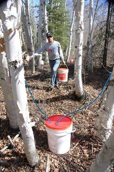 """Tapping walnut and birch trees: """"birch sap...requiring 150-200 gallons of sap to yield a gallon of syrup....Its intense fruity molasses flavor means birch is unlikely to replace the mighty maple as a pancake syrup, but it does appeal to creative chefs for use in marinades and other culinary treats....As for walnut syrup, the delicacy could easily forge a place of honor on the breakfast table...""""It tastes very much like a lighter maple syrup, with nutty butterscotch overtones,""""..."""""""