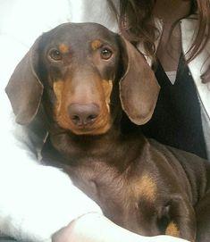 The sweetest! Our dachshund Pontus. Dachshund Funny, Dachshund Puppies, Weenie Dogs, Dachshund Love, Baby Puppies, Baby Dogs, Funny Dogs, Pet Dogs, Dogs And Puppies