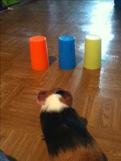 """The """"cup game"""" with your guinea pig. Hide a treat in a cup and have your guinea pig find the cup with a treat"""