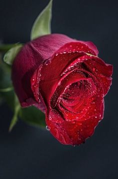 Nothing more beautiful in the flower world than a single red rose. Why is that?
