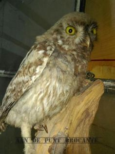Oude Opgezette Uil Bosuil Taxidermie