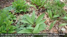 Ramps Gnome Garden, Allium, Wild Flowers, Weed, Flora, Shells, Backyard, Gardening, Plants