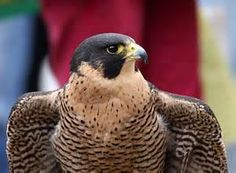 Save the Falcons PETITION - Care2 News Network