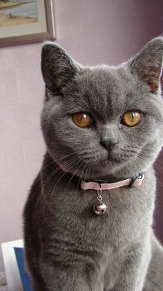 British Shorthair Cat -  This cat breed is medium to large sized with a powerful, compact build. The chest is broad and the legs are short but strong. The tail is also short but quite thick with a rounded tip. The coat is dense and plush – almost like a luxurious pile carpet.