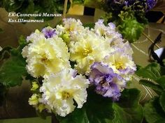 African Violet Saintpaulia Plant EK Solnechnyi Malchik - Sunny Boy ~ The Russian/Ukraine ones are so beautiful.  Of course I can't begin to pronounce their names or know them by their English names.  The price to pay to look at such beauty.