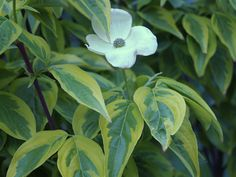 Celestial Shadow is a hybrid dogwood with variegated foliage that persists through the heat of summer without fading.