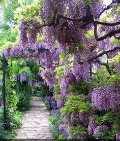 wisteria everywhere !!