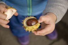 Z pagaštanu si môžete vytvoriť vlastnú masť proti boľavým kolenám. Coconut, Ale, Fruit, Food, Ale Beer, Essen, Meals, Yemek, Eten