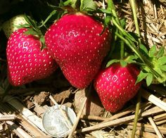 Herriot is a new tasty strawberry variety with high yields, vigor, disease resistance, eye appeal and a hint of pineapple flavor. Strawberry Varieties, Strawberry Seed, Grow Your Own, Flower Seeds, Bonsai, Exotic, Fresh, Garden, Flowers