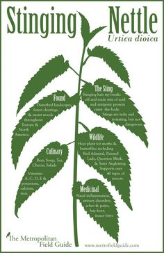 You may have heard of kale chips but have you heard of stinging nettle chips. Check out this incredibly easy recipe transforming stinging nettles into a tasty and nutritious treat without the sting. Healing Herbs, Medicinal Plants, Nettle Benefits, Health Benefits, Health Tips, Nettle Recipes, Edible Wild Plants, Wild Edibles, Herbal Medicine