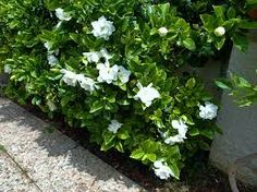 Gardenia florida, glossy leaves, heavenly perfume