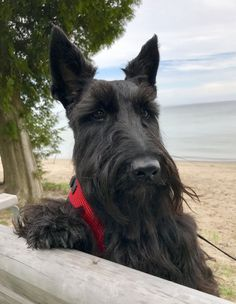 Scottish Terrier Puppy, Terrier Dogs, Bull Terriers, Terrier Mix, Tiny Dog Breeds, Best Dog Training, Training Tips, Crazy Dog, Dogs And Puppies
