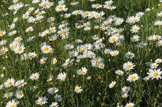 Margrieten in my garden :-) check http://natuurlijk-rijk.be