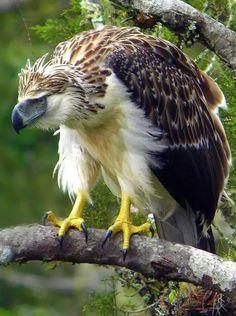 Małpożer,orzeł filipiński.Eng. Philippine eagle.(Pithecophaga jefferyi) – gatunek dużego ptaka drapieżnego z rodziny jastrzębiowatych (Accipitridae), zamieszkujący Filipiny. Jeden z najrzadszych, najbardziej zagrożonych i najpotężniejszych ptaków na świecie.  Żyje na obszarach wyżynnych oraz leśnych. Osiąga długość ciała ok. 86-102 cm, rozpiętość skrzydeł - ok. 2 m, wagę - ok. 7 kg. Ma długi ogon, stosunkowo krótkie skrzydła i wysoki, spłaszczony po bokach dziób. Małpożer poluje…