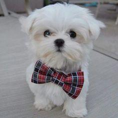 Monte the Maltese. Cutest puppy on Instagram