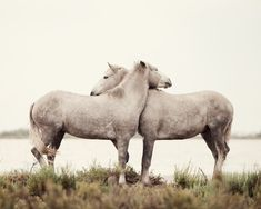 Horses on the Camargue