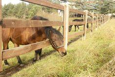 Bimber - horse with a large appetite - Hucul horse in the Hotel & Resort SPA WARMIA PARK in Poland (Warmia and Masuria, Pluski near Olsztyn)