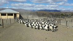 Sheep everywhere Heartland, My World, Farming, Travel Ideas, Sheep, Landscapes, Africa, Places, Paisajes