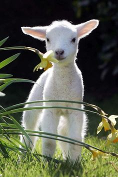 A little #lamb always has time to stop and smell the flowers. #cute #animals
