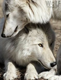 Wolves mate for life and are very affectionate towards each other.