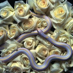 """snpsnpsnp: """"a lavender California King snake :) """" Pretty Snakes, Beautiful Snakes, Les Reptiles, Reptiles And Amphibians, Beautiful Creatures, Animals Beautiful, California King Snake, Animals And Pets, Cute Animals"""
