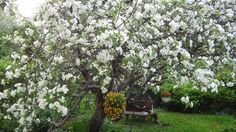 My old apple tree pfoto by Ebba Harju