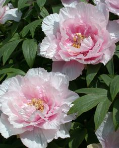 1000+ images about Tree Peonies on Pinterest | Trees, A tree and ...
