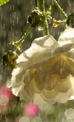 White Roses in the Rain - Copyright John-Morgan via Flickr