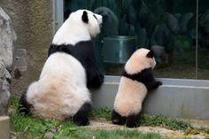Zoo Atlanta Giant Pandas Lun Lun and Po Zoo Animals, Animals For Kids, Animals And Pets, Cute Animals, Nature Animals, Funny Animals, Panda Bebe, Cute Panda, Panda Panda