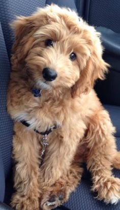 Super Cute Puppies, Cute Little Puppies, Cute Dogs And Puppies, Cute Little Animals, Baby Puppies, Baby Dogs, Doggies, Chien Goldendoodle, Mini Goldendoodle Puppies