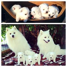 5 Adorable Japanese Spitz puppies!  Congrats to @msn68 & thanks for posting!