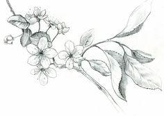 Cherry blossoms line drawing cherry blossom drawing, blossom tattoo, Plant Drawing, Painting & Drawing, Drawing Sketches, Art Drawings, Flower Drawings, Drawing Flowers, Cherry Blossom Drawing, Cherry Blossom Tattoo Men, Tattoo Fleur