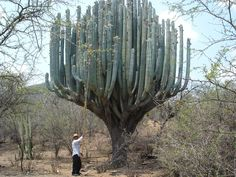 Pachycereus: very large columnar cacti from Mexico. Pachycereus weberi can grow to enormous sizes.