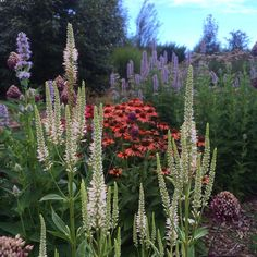 Veronicastrum virginiana 'Alba' Echinacea 'Red' and agastache 'Blue fortune'