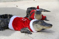 Milliken Farms in Lacombe, Louisiana, is offering a toothy take on the regular fur-filled petting zoos. Dressing their four and five-foot gators as Mr. and Mrs. Claus, owners David and Karen Milliken are sure to make local holiday events extra memorable this year.