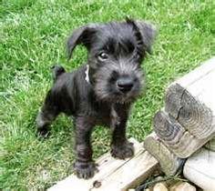 miniatures, mini schnauzer, anim, minis, miniatur schnauzer, ador, dog, schnauzer puppi, black puppi