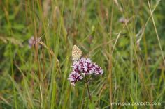 A female Chalk Hill Blue Butterfly feeding on Origanum vulgare at Pewley Down. Chalk Hill, Big Butterfly, Nature Reserve, Butterflies, Insects, Wildlife, Female, Blue, Beautiful
