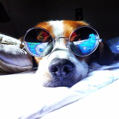 This beagle is just doin' him and has no idea how adorable he looks in those shades. I Love Dogs, Puppy Love, Cute Dogs, Funny Animal Pictures, Funny Animals, Cute Animals, Pet Pictures, Animal Pics, Rescue Dogs
